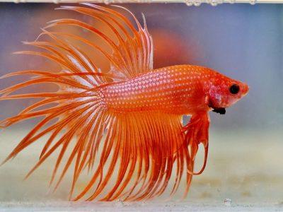ikan cupang tercantik