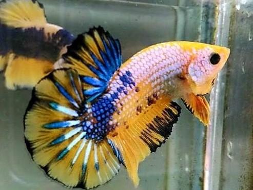 ikan cupang kesayangan